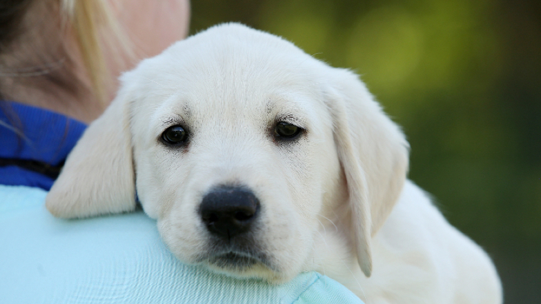 A puppy looking over a Guide Dogs staff member's shoulder