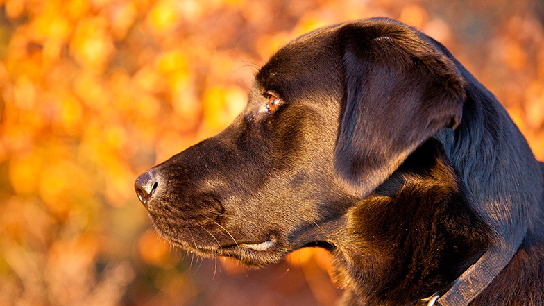 Black Labrador Guide Dogs