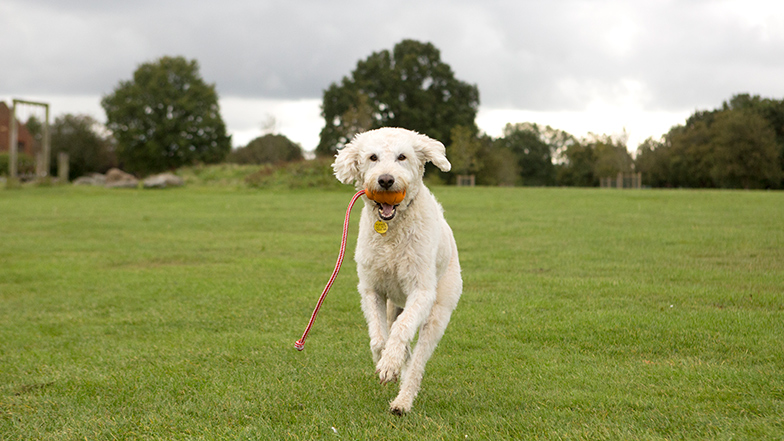 Dog running in an open green space towards camera